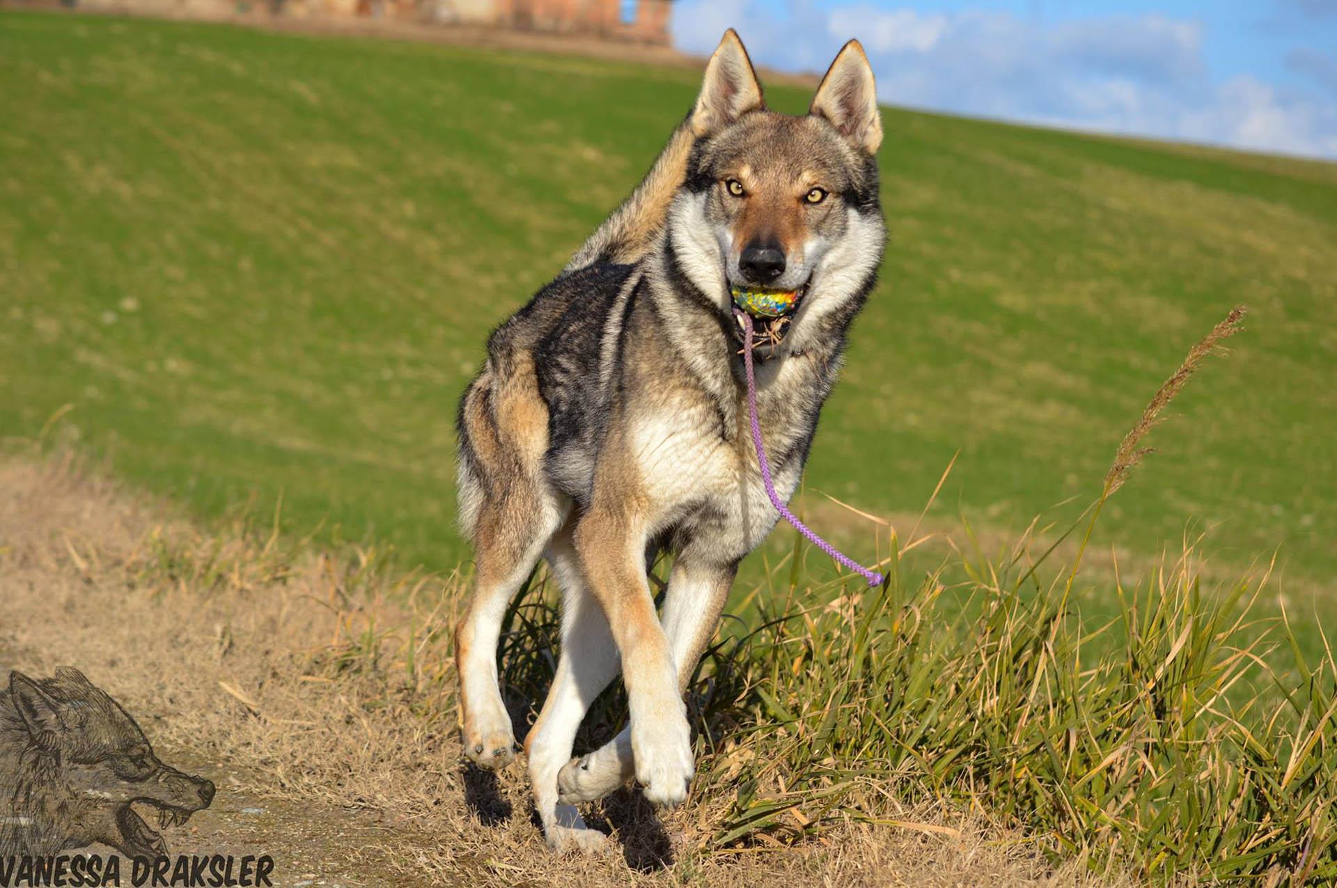 Search results for addestramento cane lupo cecoslovacco for Educazione cane